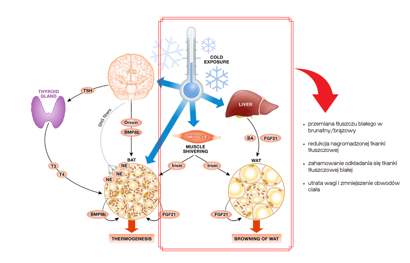 TC Cryo metabolizm - BTMED